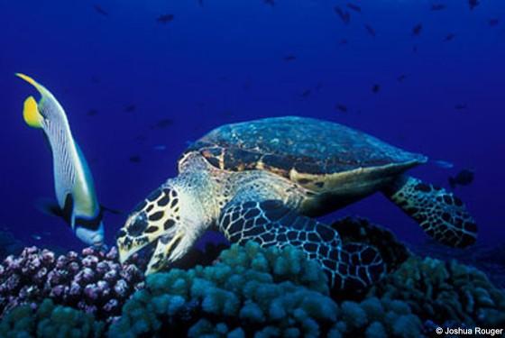 Подводные жители лагуны - черепаха и рыба-попугай