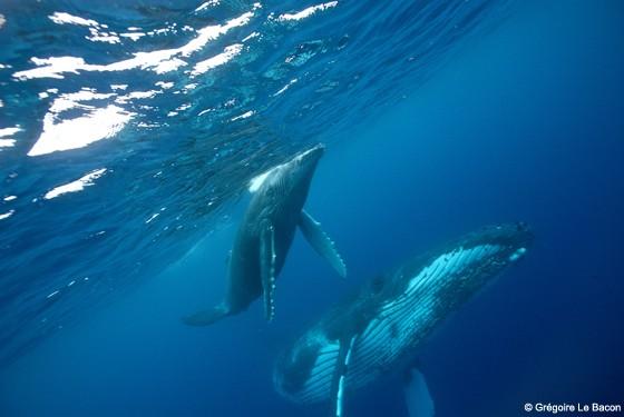 Горбатые киты на Бора-Бора