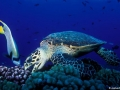 Черепаха на дне лагуны Бора-Бора