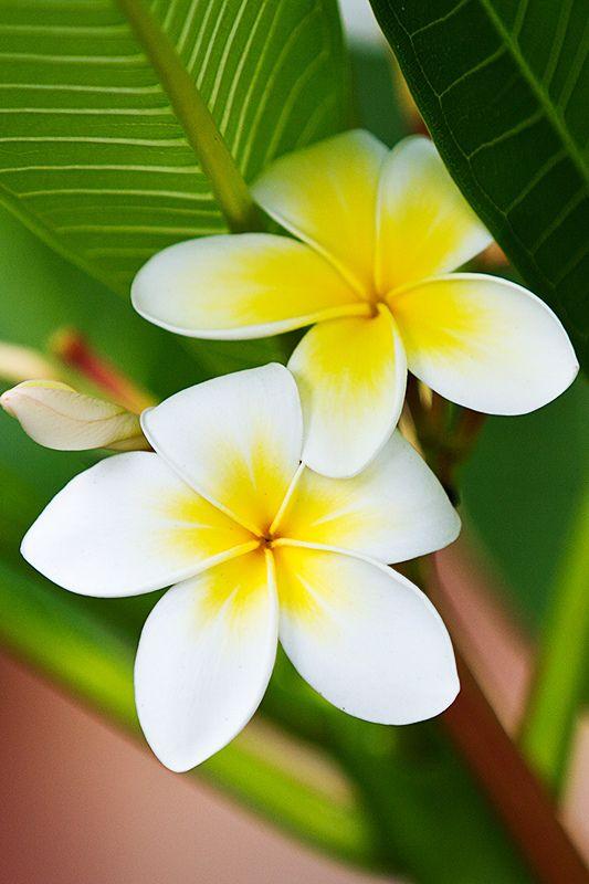 Цветы тиаре