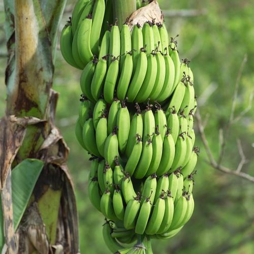 Банановая гроздь на Таити.
